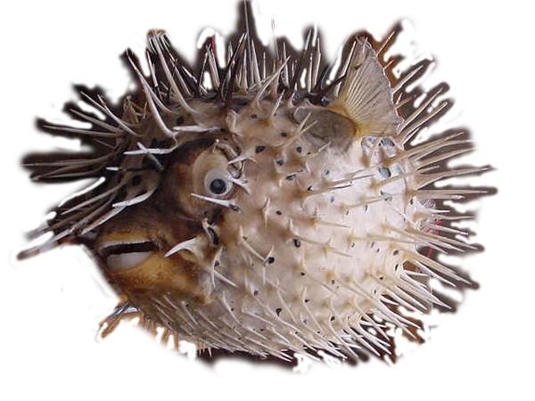 Echter Igelfisch präpariert 20-22,5 cm